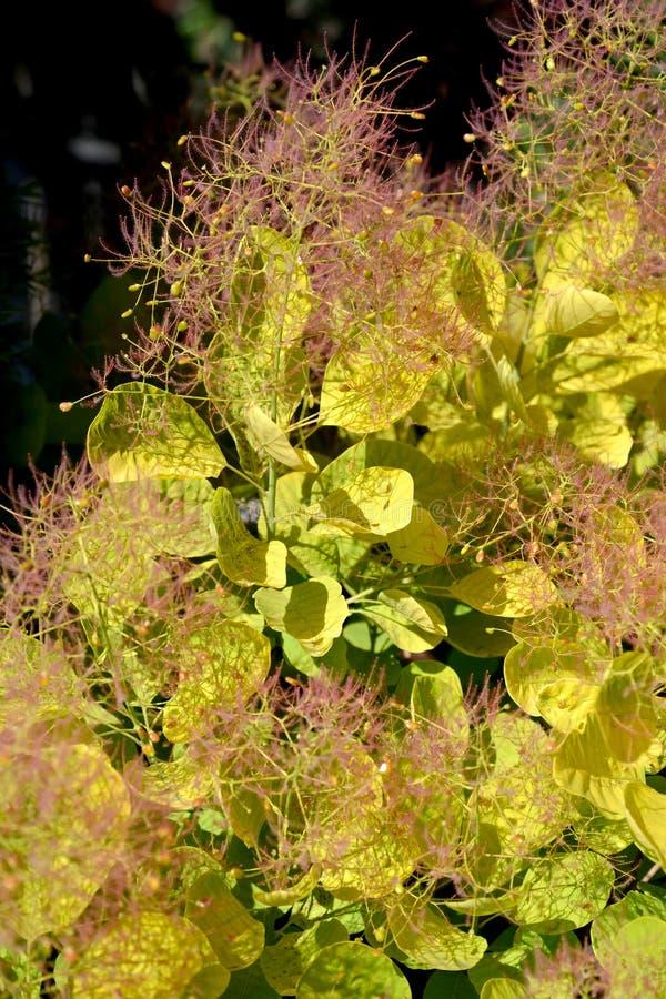 Feuilles avec des veines d'un perruque-arbre, une catégorie le coggygria d'or Scop de Cotinus d'esprit Esprit d'or photo stock