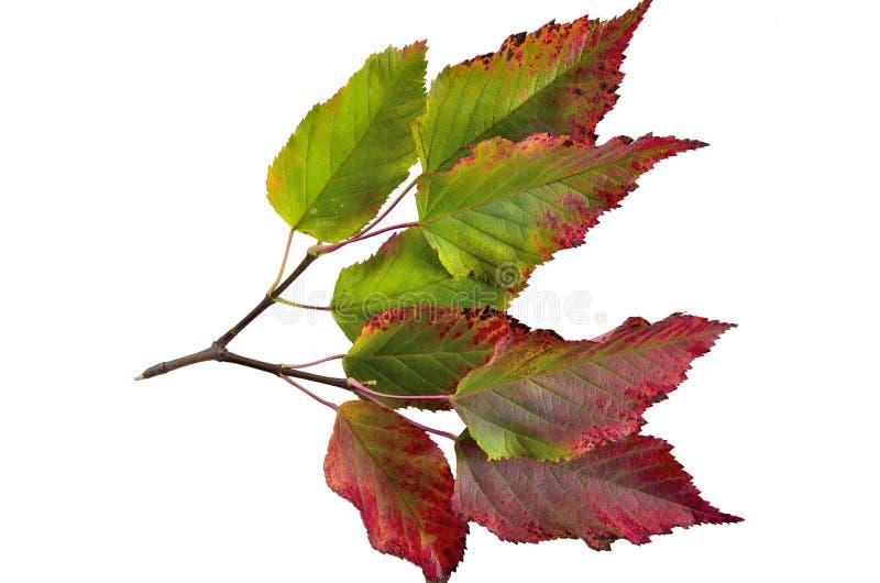 Feuilles colorées d'automne d'isolat tatarian de tataricum d'Acer d'érable images stock