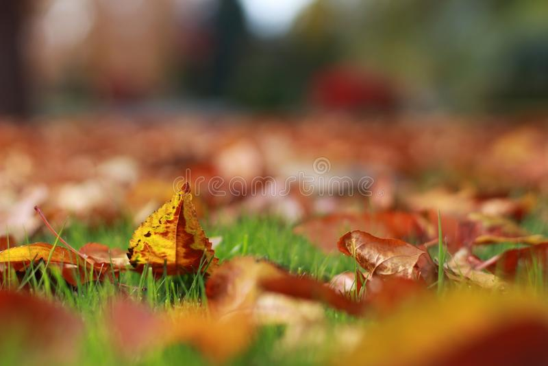 Feuilles colorées de chute d'automne empilées vers le haut de fièrement à la fin d'herbe verte d'été photos libres de droits