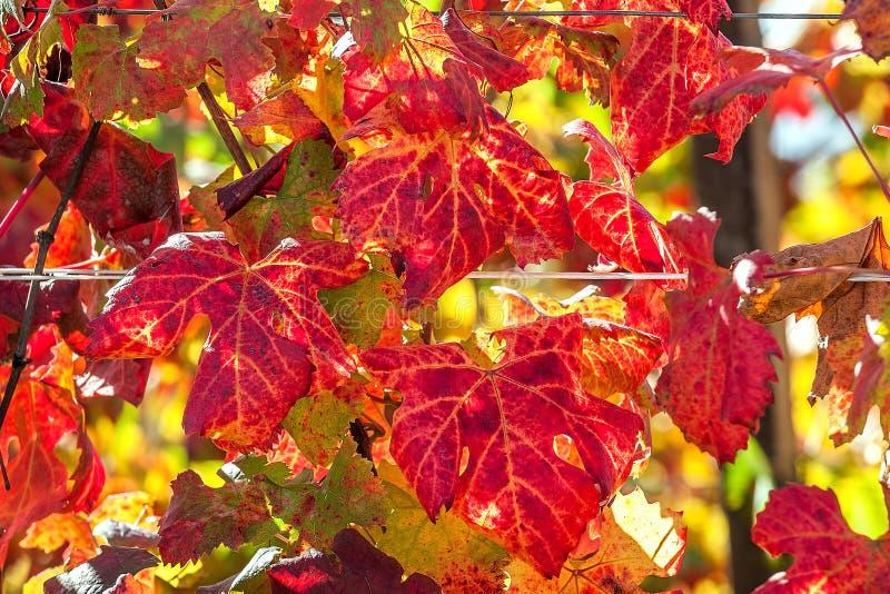 Feuilles colorées de vignoble photo stock