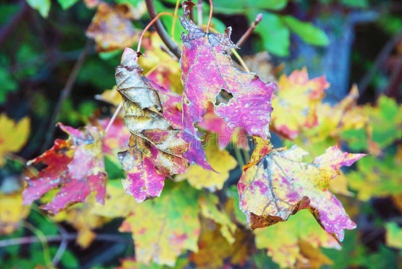 Feuilles colorées sur l'arbre d'automne, filtre vif image stock