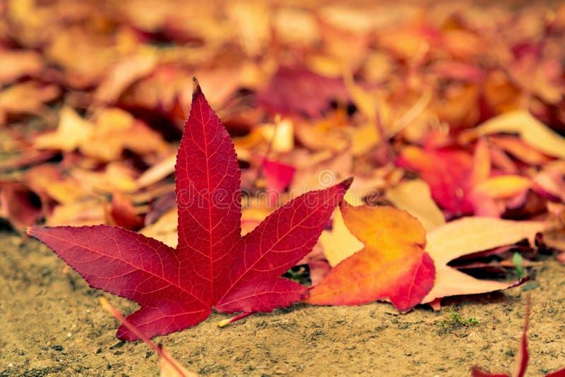 Feuilles color?es d'?rable d'automne au sol Autumn Foliage rouge et jaune color? toned photos libres de droits