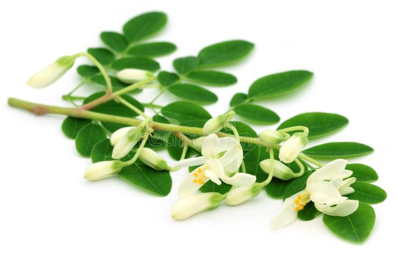 Feuilles comestibles de moringa avec la fleur photo stock