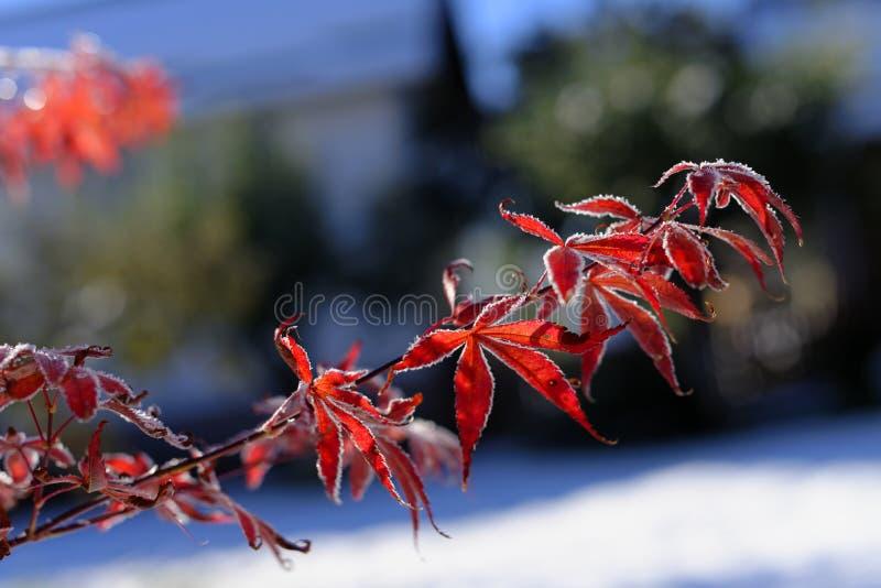 Feuilles congelées d'érable japonais photos stock