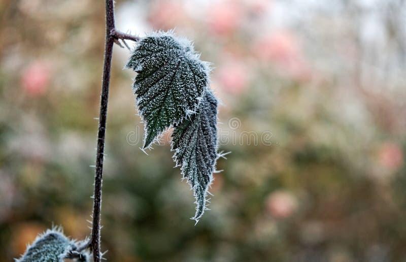 Feuilles congelées d'usine en hiver photographie stock libre de droits