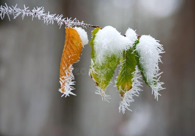 Feuilles congelées sur des branches d'arbre en hiver avec des modèles de glace images stock