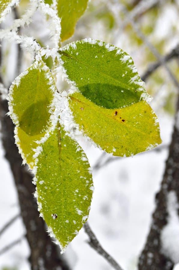 Feuilles couvertes de gel dans les bois d'hiver images stock