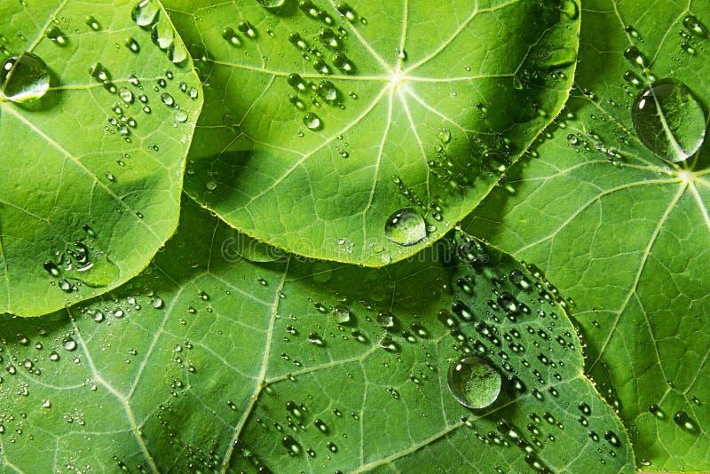 Feuilles couvertes de rosée vertes de ressort photos stock