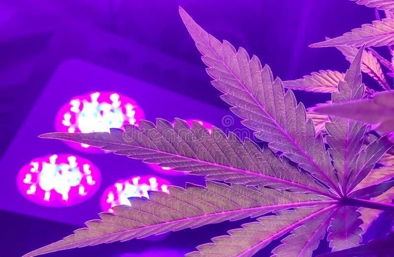 Feuilles croissantes de rose et de pourpre de cannabis d'intérieur images stock