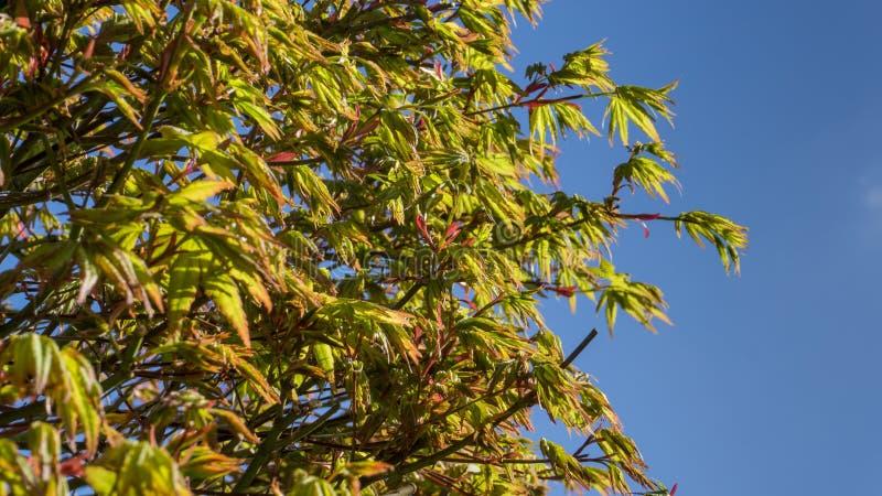 Feuilles d'érable dans le printemps avec le ciel bleu images stock