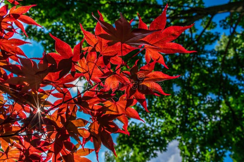 Feuilles d'érable japonais rougeoyant au soleil photos stock
