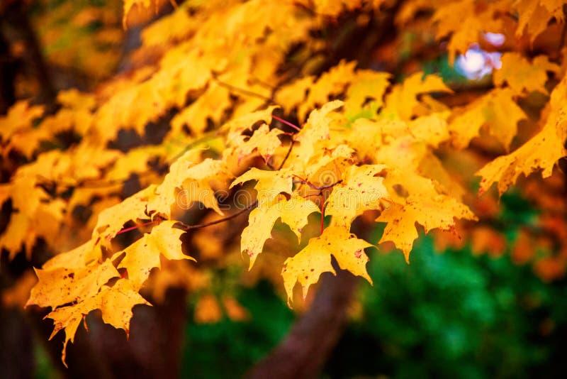 Feuilles d'érable jaune à l'automne photo stock