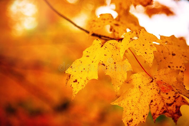 Feuilles d'érable jaune à l'automne photo libre de droits