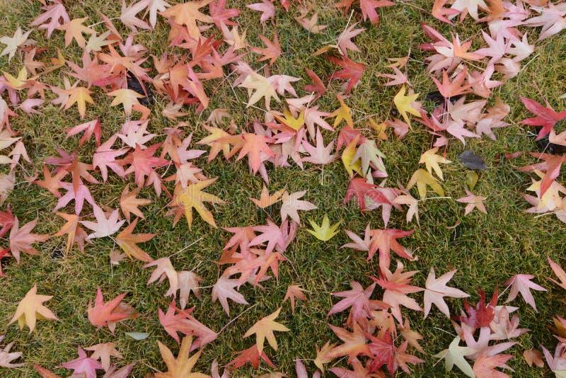 Feuilles d'érable rouge sur la pelouse photos stock