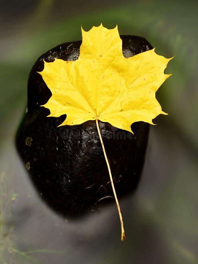 Feuilles d'érable rouges jaune-orange d'automne sur l'eau, feuille sèche photos libres de droits