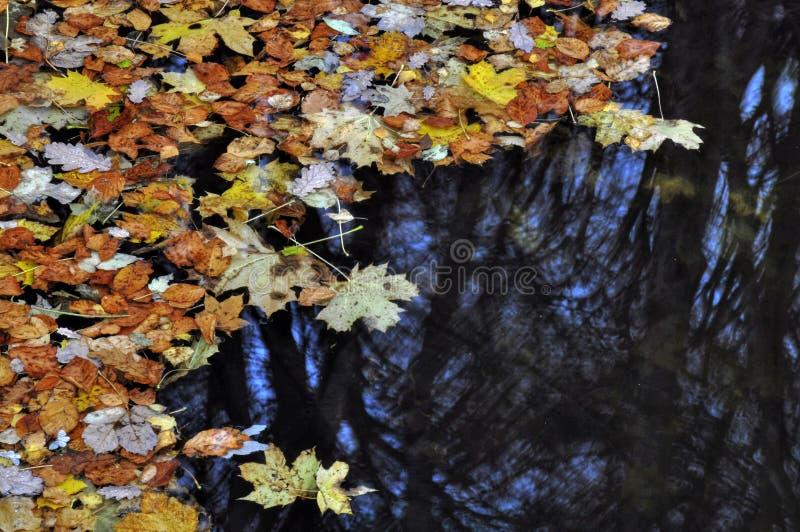 Feuilles d'érable sur l'eau photographie stock libre de droits