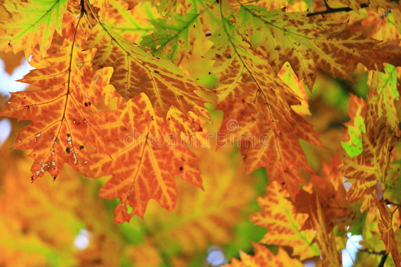 Feuilles d'or image stock
