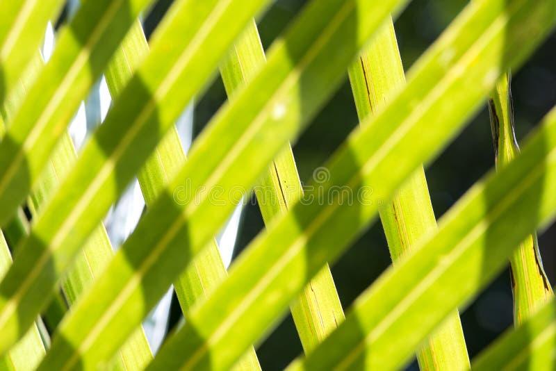 Feuilles d'arbre de noix de coco image libre de droits