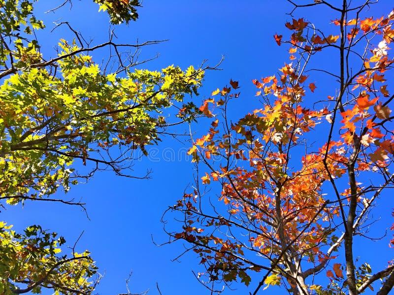 Feuilles d'arbres d'érable photographie stock libre de droits