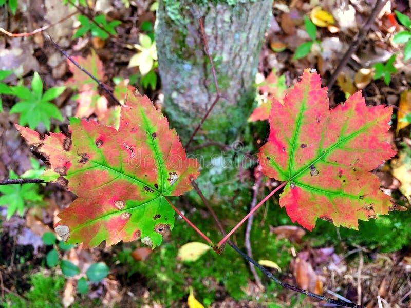Feuilles d'arbres d'érable changeant des couleurs image libre de droits