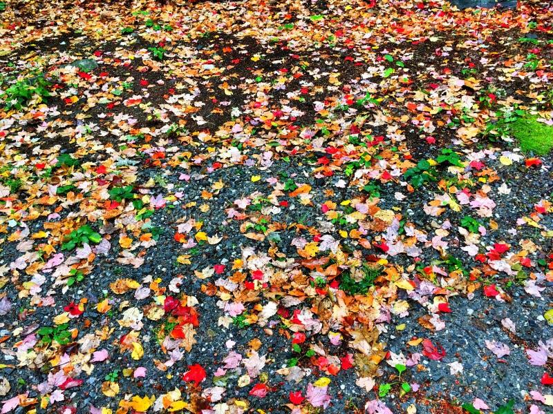 Feuilles d'arbres d'érable tombées photo stock