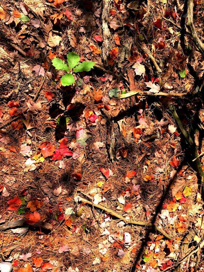 Feuilles d'arbres d'érable tombées dans les bois images stock