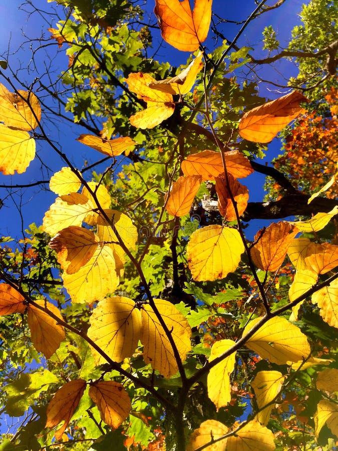 Feuilles d'arbres de hêtre en automne images stock