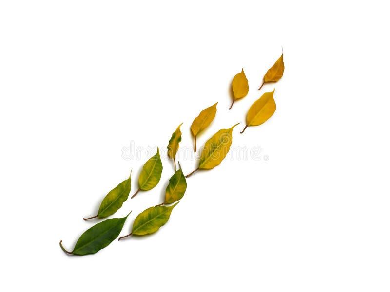 Feuilles d'automne colorées d'isolement situées dans diagonalement une ligne sur le fond blanc photo stock