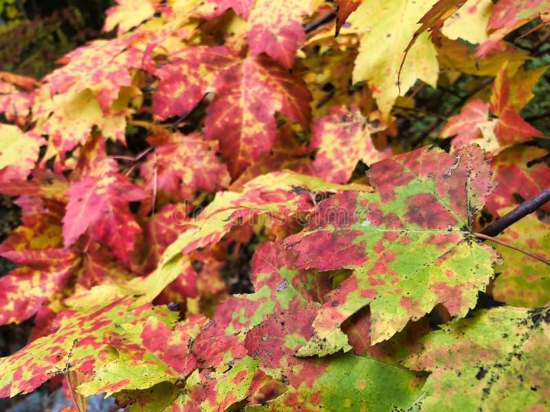 Feuilles d'automne colorées sur un arbre photo stock