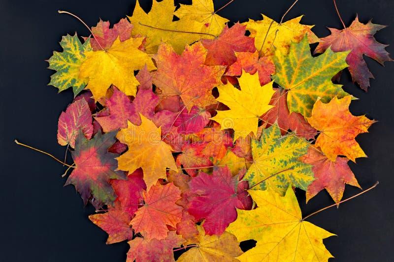 Feuilles d'automne colorées sur un fond noir Feuilles lumineuses d'érable photos stock
