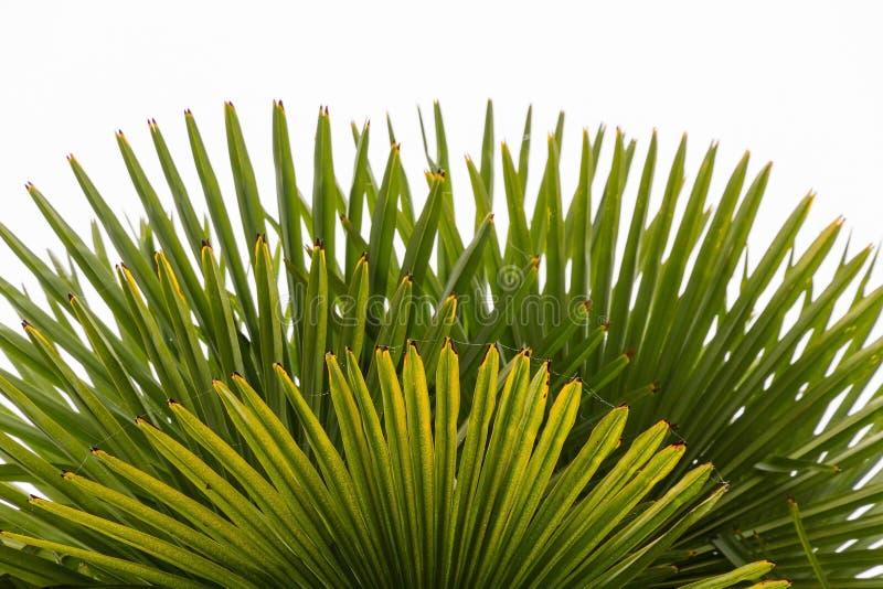 Feuilles d'automne d'un palmier photo libre de droits
