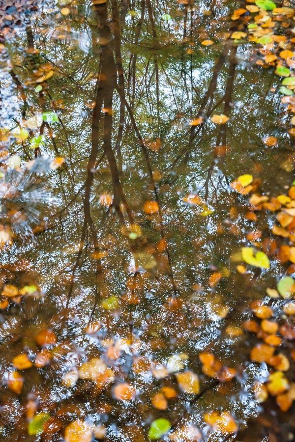 Feuilles d'automne dans un magma avec le refelction de forrest images libres de droits