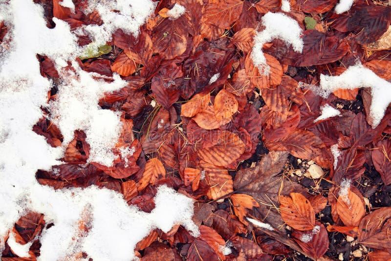 Feuilles d'automne de couleur rouge dans la neige photos stock