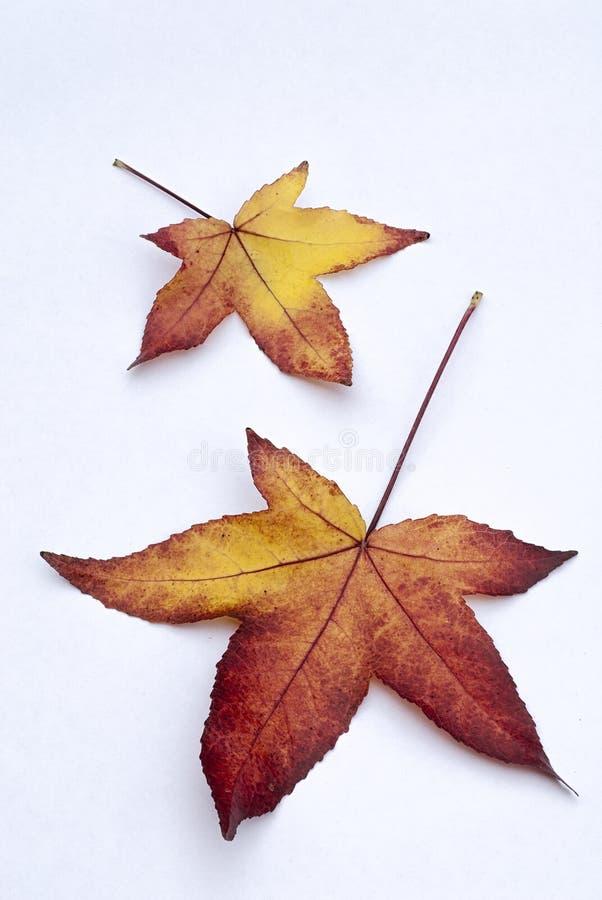 Feuilles d'automne de styraciflua de Liquidambar de Sweetgum d'Américain dessus photographie stock libre de droits