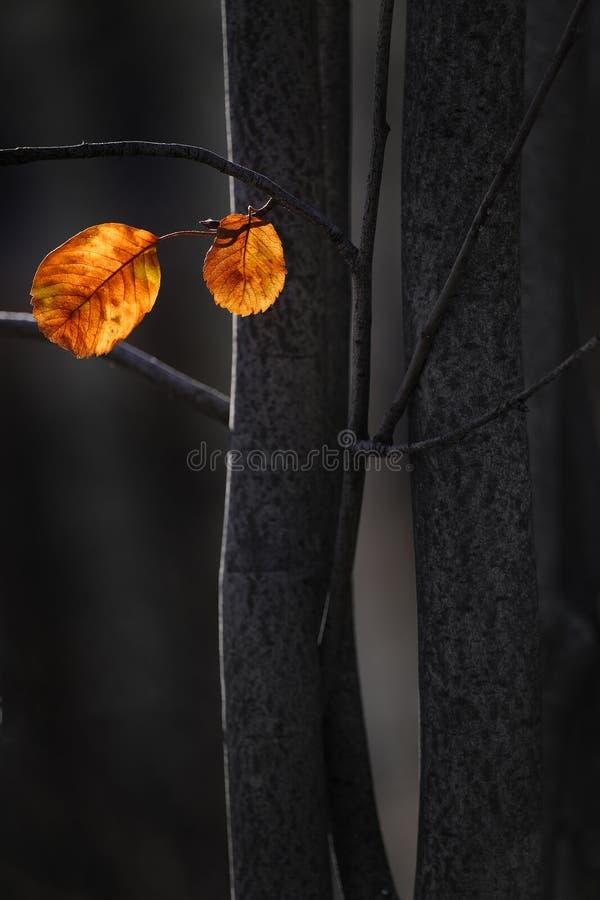 Feuilles d'automne isolées des arbres sombres image stock
