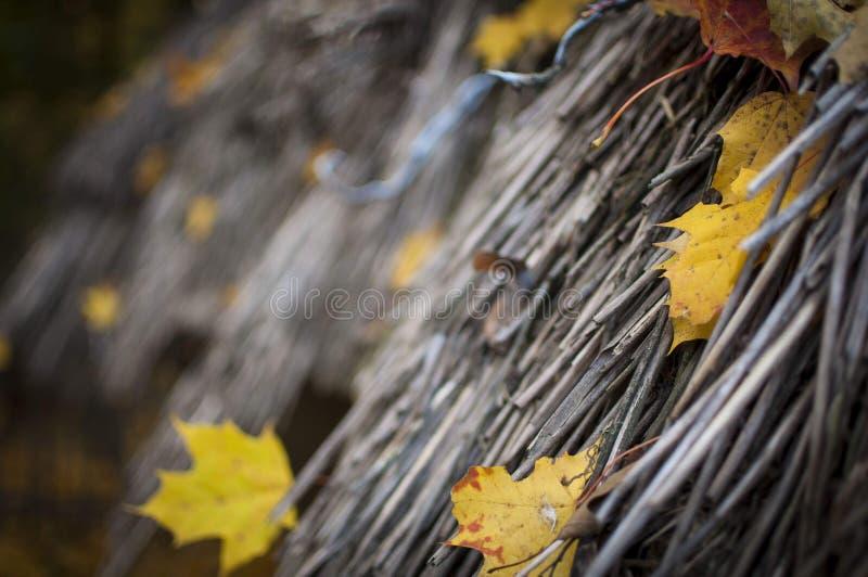 Feuilles d'automne jaunes coincées dans un toit couvert de chaume image stock
