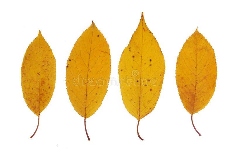 Feuilles d'automne jaunes de closeup de cerisier Isolé sur fond blanc images libres de droits