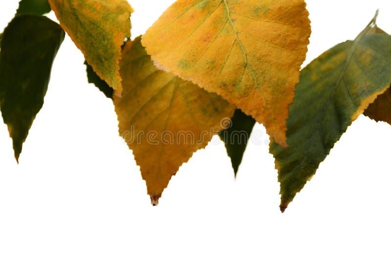 Feuilles d'automne jaunes d'isolement sur le fond blanc photographie stock