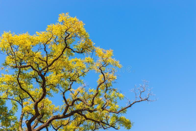 Feuilles d'automne jaunes sur un arbre en ciel bleu photo libre de droits