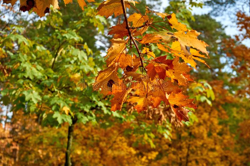 Feuilles d'automne lumineuses d'érable photographie stock libre de droits