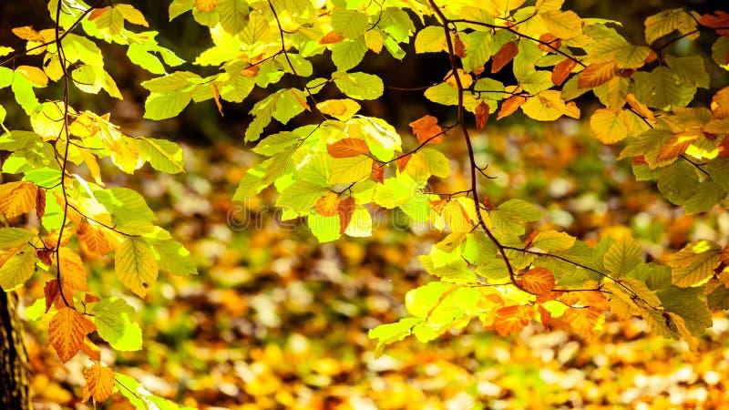 Feuilles d'automne lumineuses, arbres de chute photo libre de droits