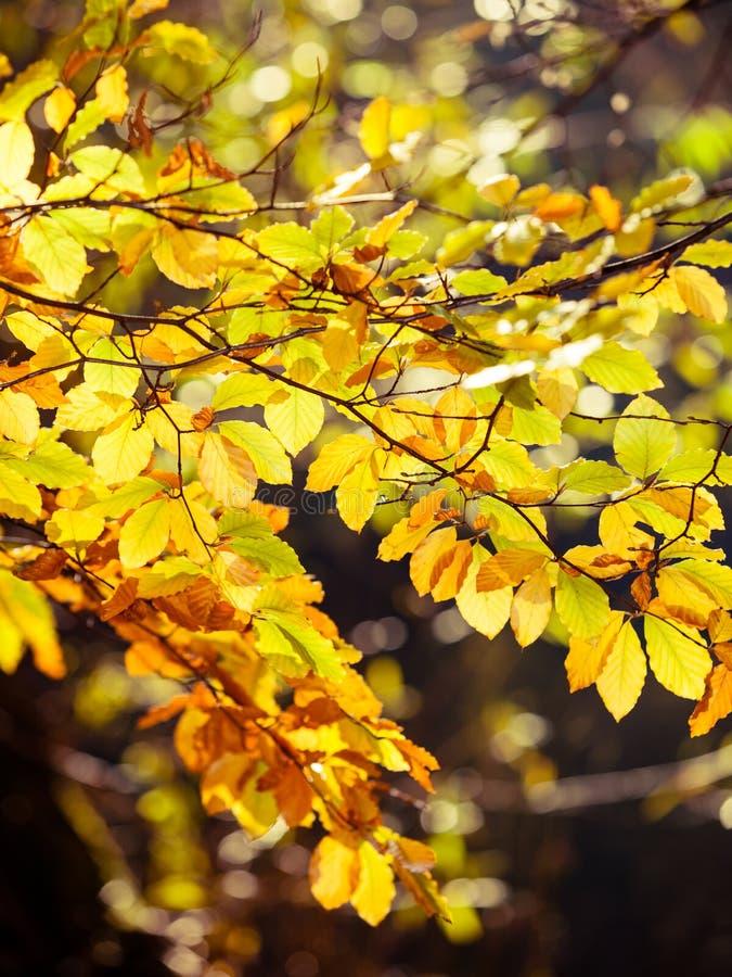 Feuilles d'automne lumineuses, arbres de chute photos stock