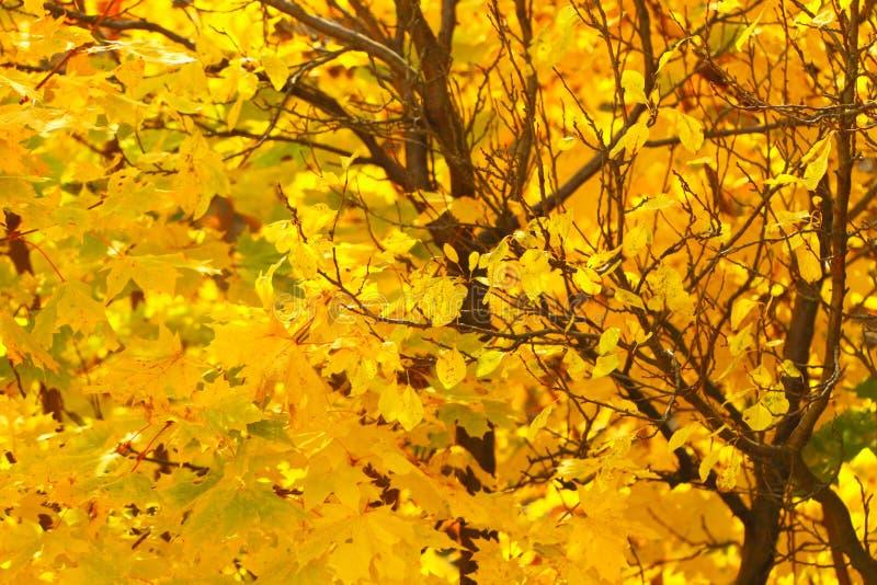 Feuilles d'automne lumineuses dans l'environnement naturel photos stock