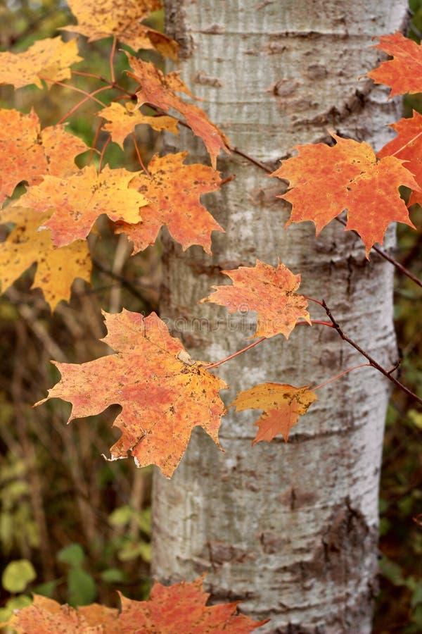 Feuilles d'automne rouges et jaunes photo stock