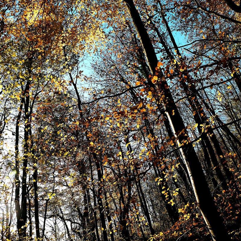 Feuilles d'automne sur les arbres aux bois Nunburnholme Yorkshire est Angleterre de Bratt images libres de droits