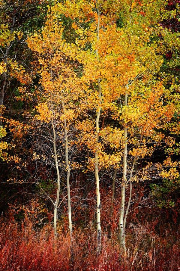 Feuilles d'Autumn Aspen Trees Fall Colors Golden et carte blanche de tronc photos stock