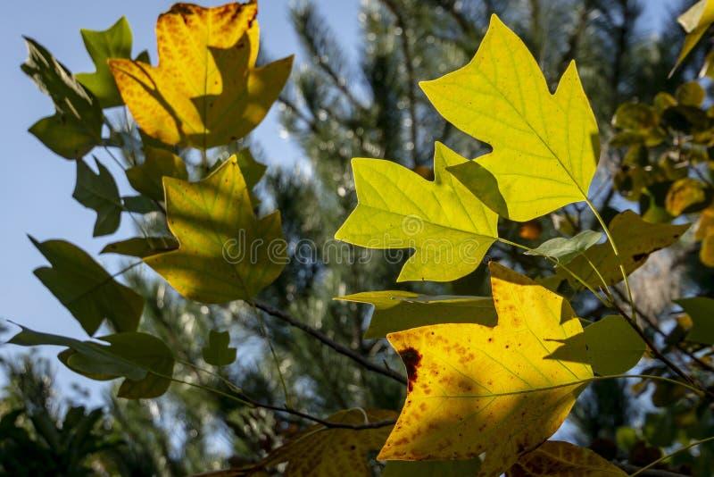 Feuilles d'or, jaunes et vertes d'un tulipifera de Liriodendron d'arbre de tulipe contre le ciel bleu au soleil images libres de droits