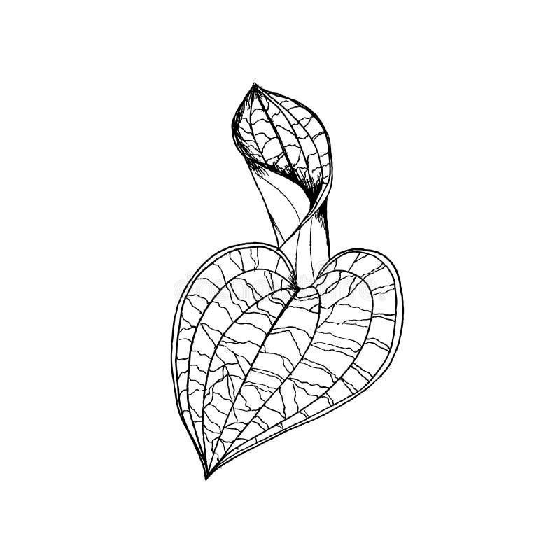 Feuilles d'orchidées de petola de Macodes dessinant à la main Illustration de vecteur de revêtement sur le blanc illustration stock