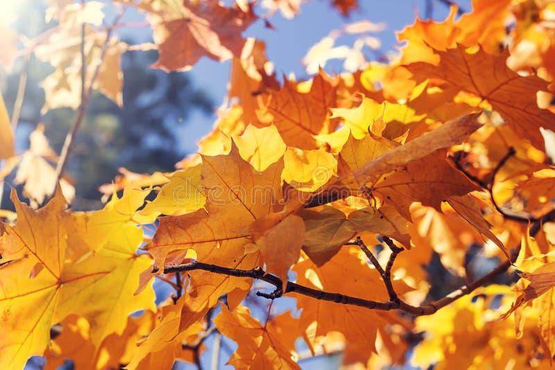 Feuilles d'?rable d'automne contre le ciel bleu Fond d'automne photos stock