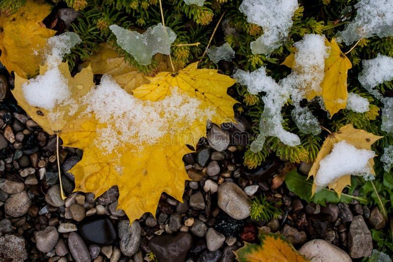 Feuilles dans la neige légère image libre de droits